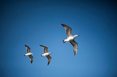 Seagulls - p1007m886886 by Tilby Vattard