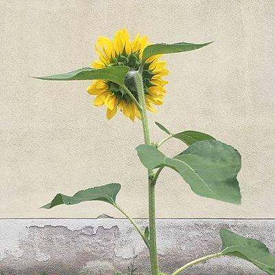 Sonnenblume - p1401m2296846 von Jens Goldbeck