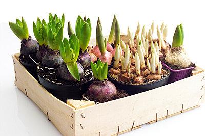 Flower bulbs in wooden box - p3001443f by Dieter Heinemann