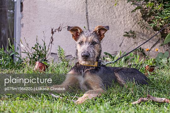 Terrier - p075m1564220 von Lukasz Chrobok