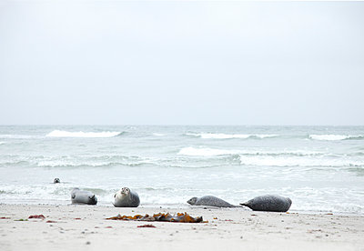 Seehundgruppe - p249m1055090 von Ute Mans
