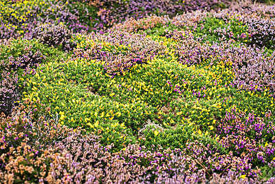 Landscape with gorse and heather - p445m2044053 by Marie Docher