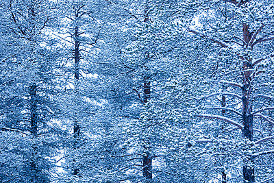 Winter forest landscape, Akaslompolo, Lapland, Finland - p871m2111521 by Matthew Williams-Ellis