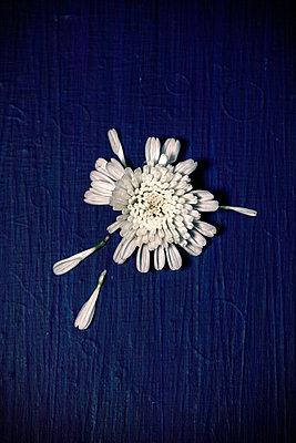 Chrysanthemenblüte mit losen Blättern - p1248m2287871 von miguel sobreira