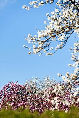 Blühende Obstbäume - p533m1045357 von Böhm Monika