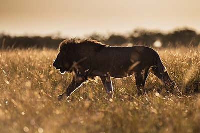 African Lion male, Masai Mara, Kenya - p884m1509893 by Jami Tarris