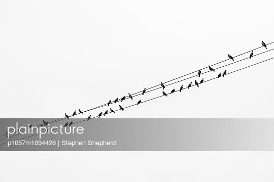 Taubenkette - p1057m1094426 von Stephen Shepherd