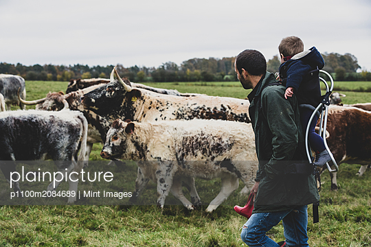 Man carrying young boy on his back walking on a pasture with English Longhorn cows. - p1100m2084689 by Mint Images