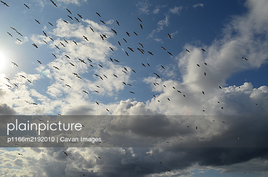 The flock of birds in the cloudy sky - p1166m2192010 by Cavan Images