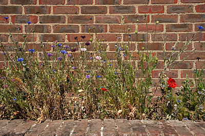 Cornflowers, daisies and poppies growing beside a red brick wall - p1047m2195533 by Sally Mundy