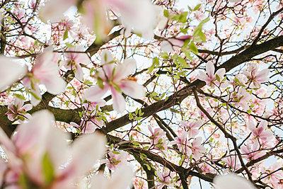 Blühender Magnolienbaum - p586m1068010 von Kniel Synnatzschke