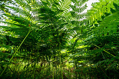 Low Angle View Of Ferns In Forest, Sweden  - p847m1529383 by Magnus Lejhall
