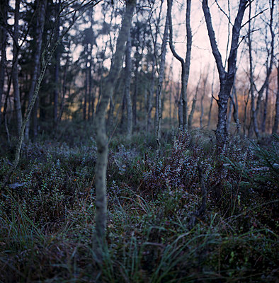 Wald im Morgengrauen - p1224m1064812 von häseker