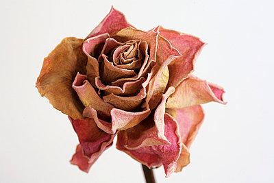 Trockene Rose - p5500085 von Thomas Franz
