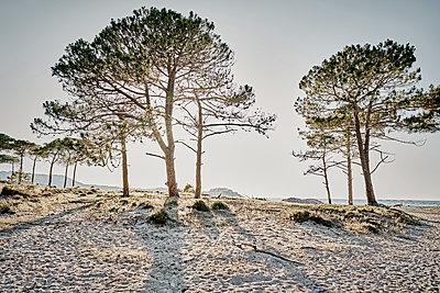 Pinien am Strand - p850m2081991 von FRABO