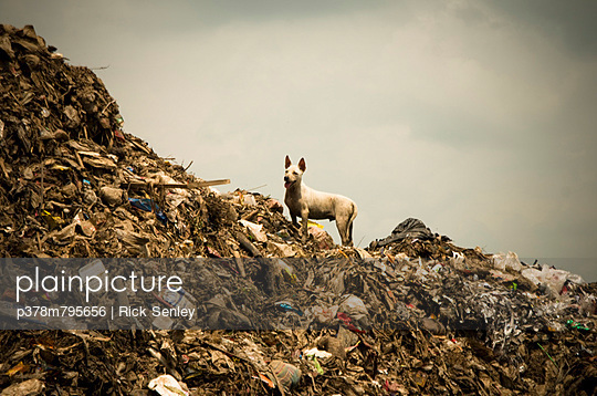 Dog on rubbish dump - p378m795656 by Rick Senley