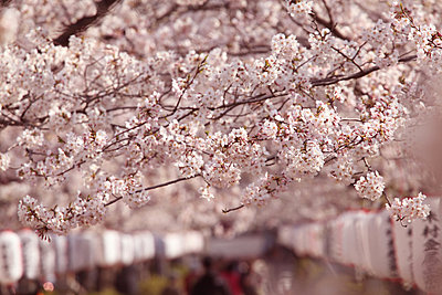 Cherry blossoms - p307m826762f by tomy