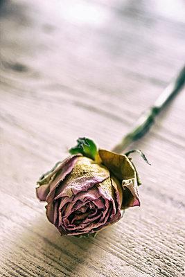 Vertrocknete Rose - p879m2210711 von nico