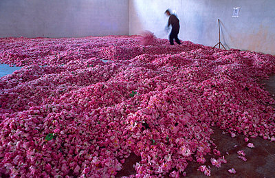 Production of rose oil - p8850020 by Oliver Brenneisen