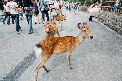 Sikarehe in den Straßen von Nara - p1085m1476916 von David Carreno Hansen
