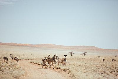 Zebras, Namibia - p642m892566 by brophoto