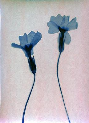 Blaue gepresste Blumen - p945m2278198 von aurelia frey