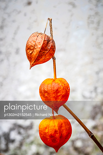 Three orange Physalis alkekengi Chinese lantern seed heads - p1302m2152545 von Richard Nixon