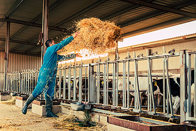 Young farmer wearing blue overall while feeding straw to calves on his farm - p300m2188027 by Aitor Carrera Porté
