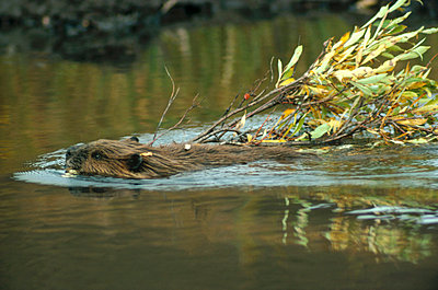 American Beaver swimming with branch - p884m864562 by Matthias Breiter