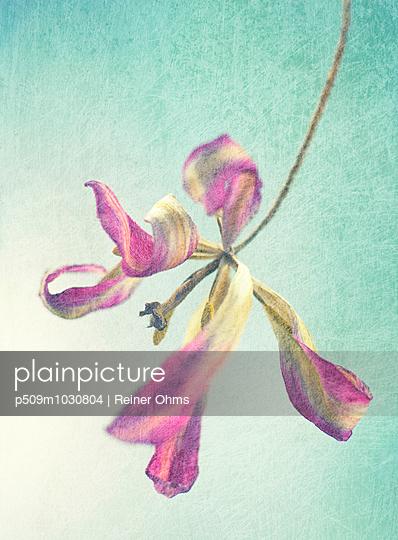 Verwelkte Tulpe - p509m1030804 von Reiner Ohms