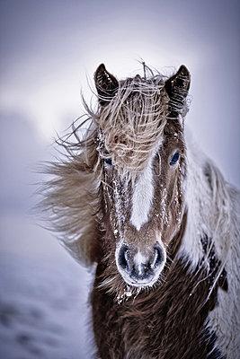 Icelandic horse  - p1084m833088 by Operation XZ