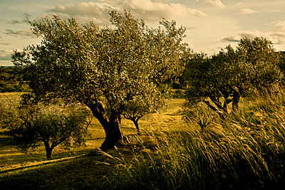 Olive trees  - p1112m893560 by XH