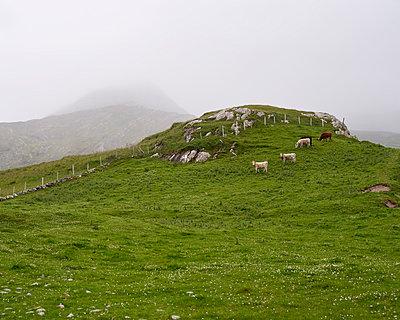 Kühe auf Weide - p1124m1050808 von Willing-Holtz