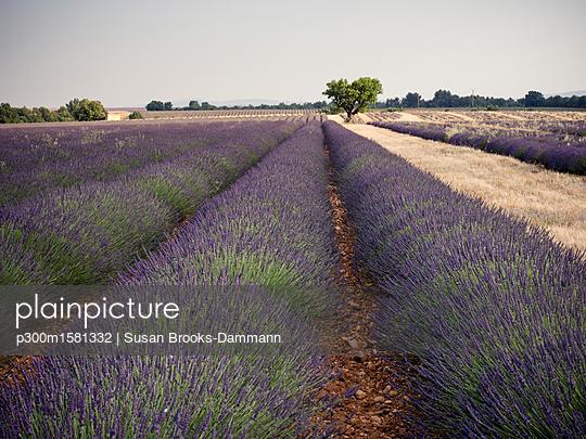 France, Provence, lavender field - p300m1581332 von Susan Brooks-Dammann