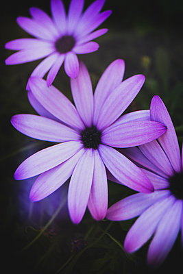 Rich purple and pink flowers in a creative abstract soft focus photograph. - p1057m2100828 by Stephen Shepherd