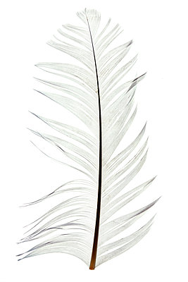 Feather - p265m1573936 by Oote Boe