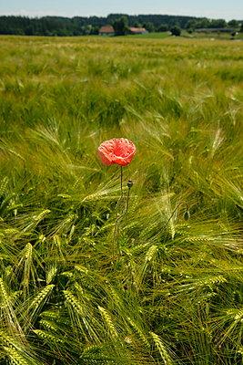 Single red poppy in a cornfield - p1638m2288425 by Macingosh