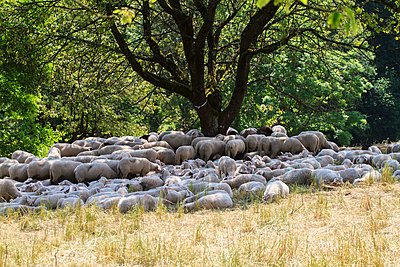 Flock of sheep - p417m1154837 by Pat Meise