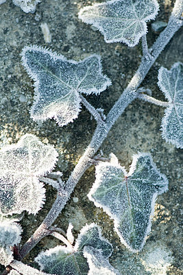 Frost covered ivy - p6242897f by Odilon Dimier