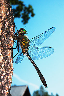 close up of a Dragonfly, Sweden  - p847m1529281 by Mikael Andersson