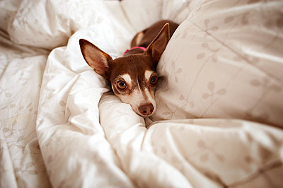 Portrait of Chihuahua on bed at home - p1166m1182974 by Cavan Images