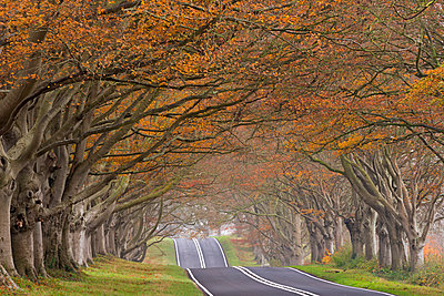 Country road passing through a tunnel of colourful autumnal beech trees, Dorset, England, United Kingdom, Europe - p871m1017471 by Adam Burton