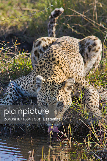 Leopard  portrait of individual drinking, Okavango Delta, Botswana - p840m1071534 by Suzi Eszterhas