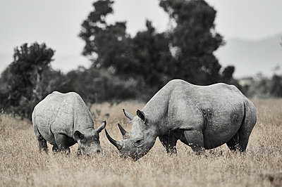 Rhinoceroses, mother animal and young, Kenya - p706m2158460 by Markus Tollhopf