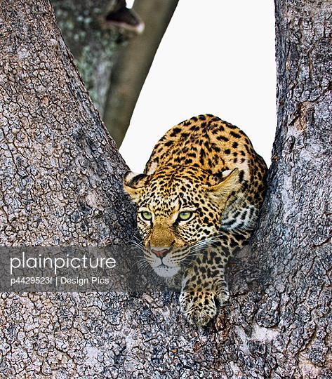 Leopard (Panthera pardus)   - p4429523f by Design Pics
