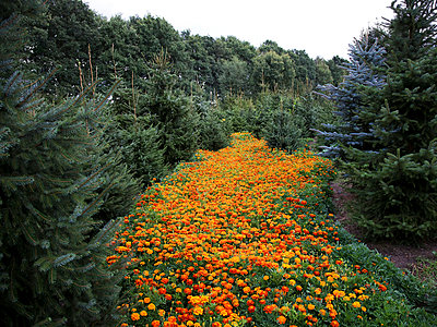 African marigold in Forest - p1231m1043052 by Iris Loonen