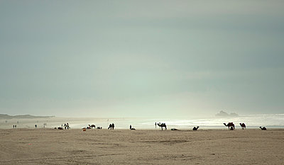 Camels on the beach - p382m1194973 by Anna Matzen