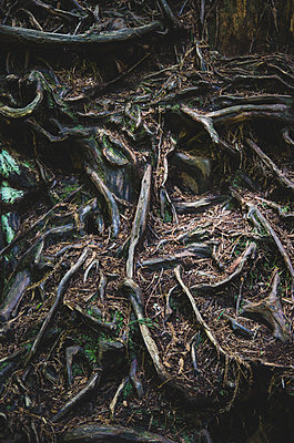 Knotty Tree Roots, Redwood National and State Park, California, USA - p694m1175531 by Eric Schwortz