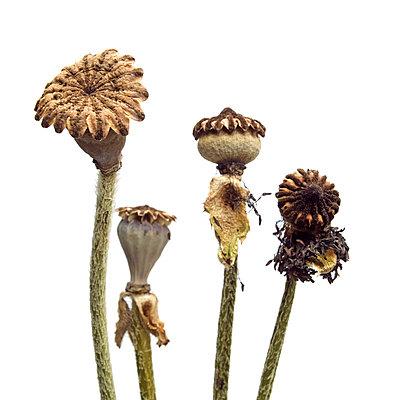 Opium poppy III - p813m831862 by B.Jaubert