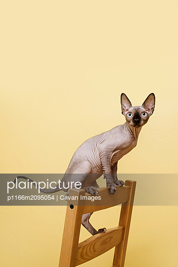 Sphynx kitten standing on the back of the chair against yellow wall - p1166m2095054 by Cavan Images
